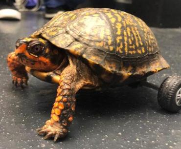 Handicap Turtle